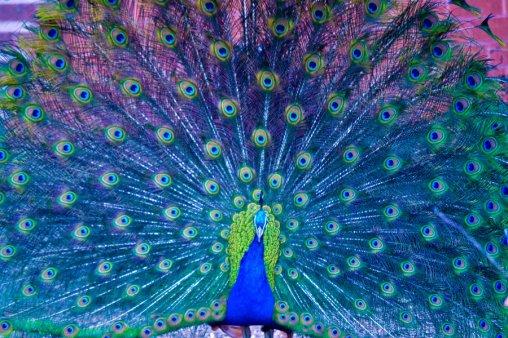 """""""Peacock  II by Bleeding Roses"""""""