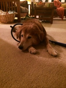 Bailey, the stupid therapy dog